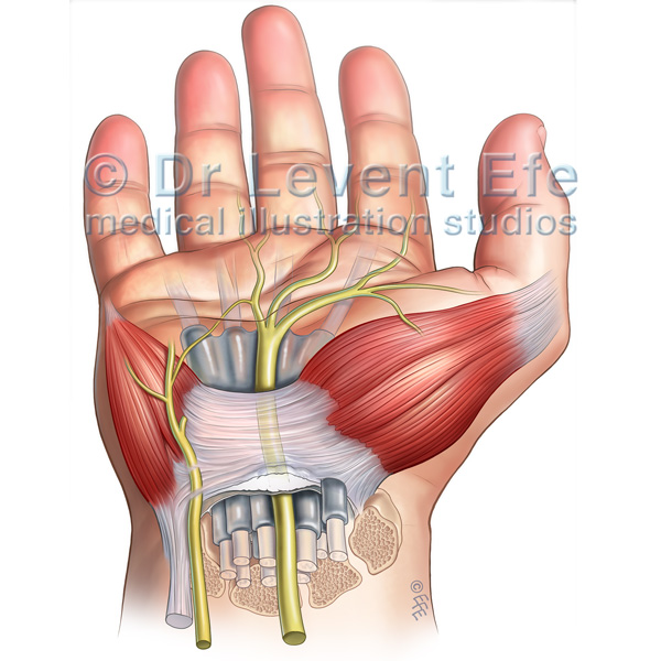 Carpal Tunnel Anatomy And The Carpal Tunnel Syndrome Dr Efes