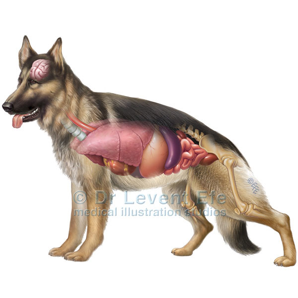German Shepherd Dog Anatomy Dr Efes Medical Art Store Medical