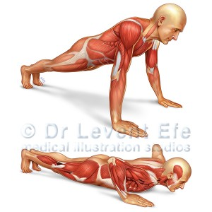 Push-up_anatomical_illustration